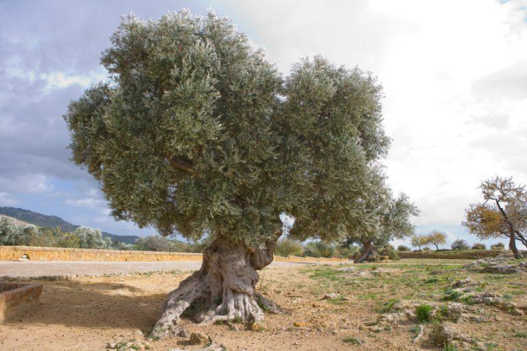 Olivenbaum-Wurzeln-768x511.jpg